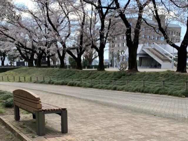 おやこっこちゃん桜4