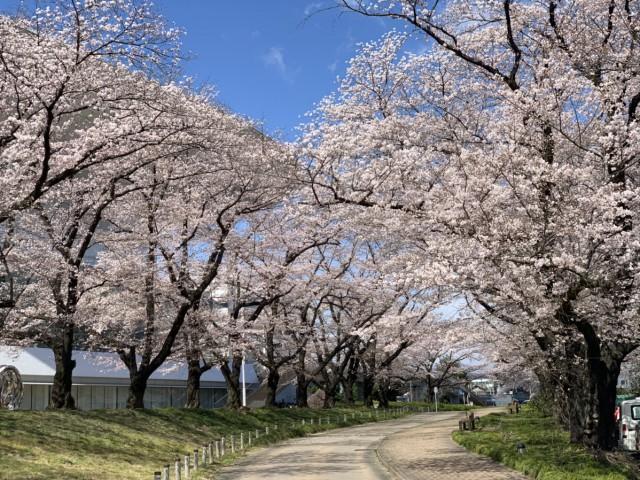 おやこっこちゃん桜2