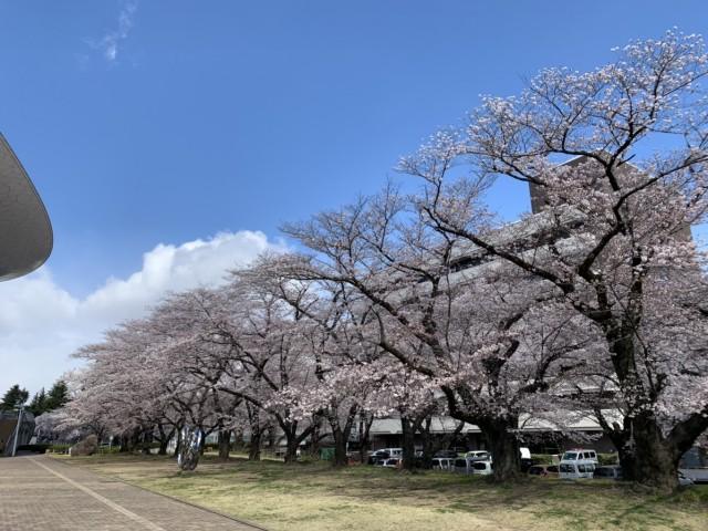 おやこっこちゃん桜3