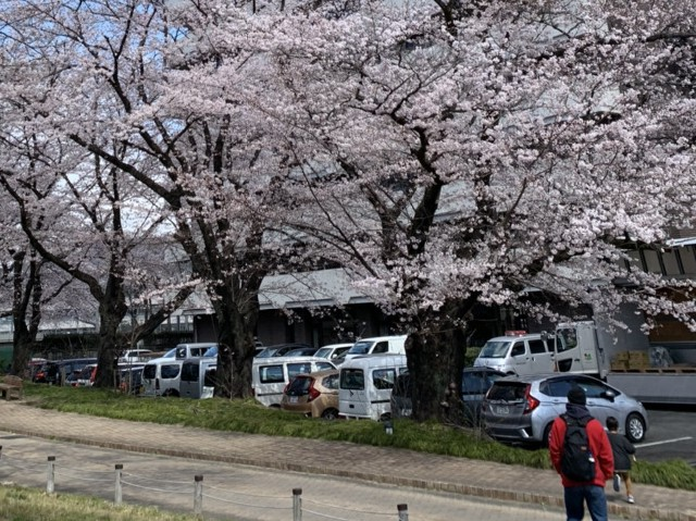 おやこっこ桜6