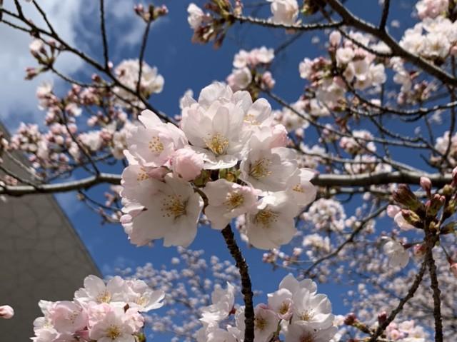 おやこっこちゃん桜5